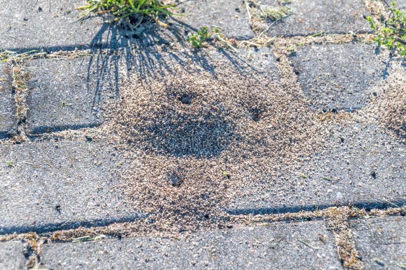 Pavement ant nest on paver